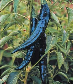 Pasilla Bajio-Chilaca Pepper 20 seeds$3.99
