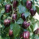Purple Beauty Sweet Bell Pepper 20 seeds $3.99
