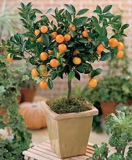 Citris Mitis-Calamondin Minature Orange Tree-5 Seeds