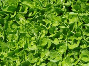 Organic Smooth Leaf Spinach 100 seeds $4.29