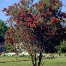 Weeping Bottlebrush 50+ Seeds