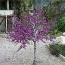 Western Redbud Tree 10+ Seeds