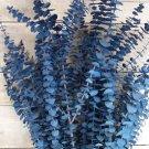 Baby Blue Eucalyptus Tree 25+ seeds