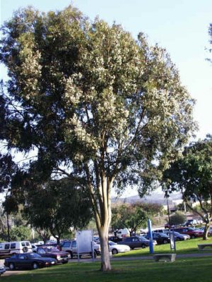 Lemon Eucalyptus Tree 25+ seeds
