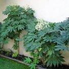 Japanese Aralia Plant-Fatsia Japonica 10+ Seeds