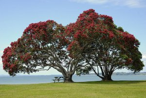 New Zealand Christmas Tree 10+ Seeds