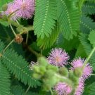 Sensitive Plant-Mimosa Pudica-50+ Seeds