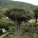 Dragon Tree-Dracaena draco-10+ Seeds