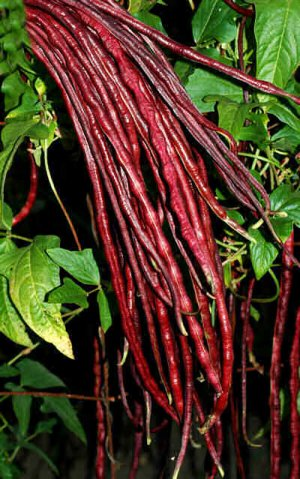 Red Noodle-Yard Long Bean-25+ Seeds