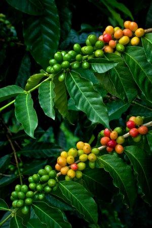 Kona Coffee Bean 10 Tree Seeds -Coffee-Gourmet-Tropical