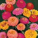 California Giant Zinnia Mix 200+ Seeds