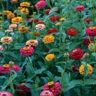 Giant Cactus Zinnia Mix 100+ Seeds