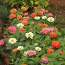 Thumbelina Zinnia Flower Mix 100+ Seeds
