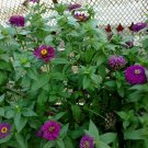 Yoga Zinnia Seed Mix 100+ Seeds