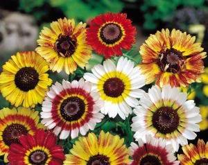 Painted Daisy Flower Mix 200+ Seeds
