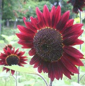 Velvet Queen Sunflower 50+ Seeds