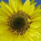 Lemon Queen Sunflower 50+ Seeds