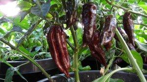 Rare Black Habanero Hot Pepper 10+ Seeds