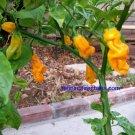 Rare Malaysian Goronong Hot Pepper 10+ Seeds