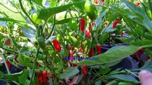 Rare Pinquita De Mono Hot Pepper 10+ Seeds