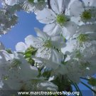 "8"" x 10"" White Flowers Photo - Item# MP810-KC3"