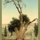 Abraham's Tree Mamreh on the West Bank Fine art canvas print (12 x 18)