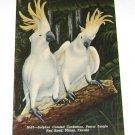 Vintage Postcard Sulphur Crested Cocatoos Parrot Jungle Miami Florida