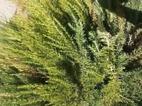 Organic Rosemary Leaves, Fresh, 0.5 oz. will harvest that day of shipping