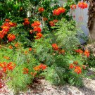 2-3' Live, Flowering Bare Root Pride Of Barbados - Mexican Bird of Paradise