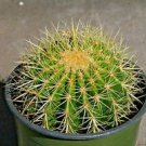 "Echinocactus grusonii Golden Barrel, Golden Ball, Med 5-6""D Bare Root Cactus"