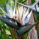 "18 to 30"" LIVE Strelitzia nicolai - Giant White Bird of Paradise - Houseplant"