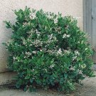 "G. jasminoides veitchii - 16 to 20"" - Fragrant Gar Houseplant - Flowering Age"