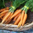 Danvers Half-Long Heirloom Organic Carrot Seeds**SOLD OUT**