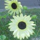 Heirloom Vanilla Ice Sunflower Seeds **RARE**
