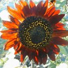 Red Sunflower  Seeds**SOLD OUT**