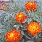 Sparkey Mix French Marigold Seeds-Best Tomato Pest Protection!