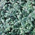 True Italian  Oregano Seeds **Gourmet Italian Herb** ORGANIC