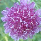 Purple Pincushion/Scabiosa-100 seeds!  Butterflies, Bees Keep Out Pests