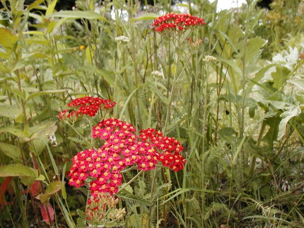Red Yarrow Seeds-Low Maintenance Crimson Flower! **SOLD OUT**