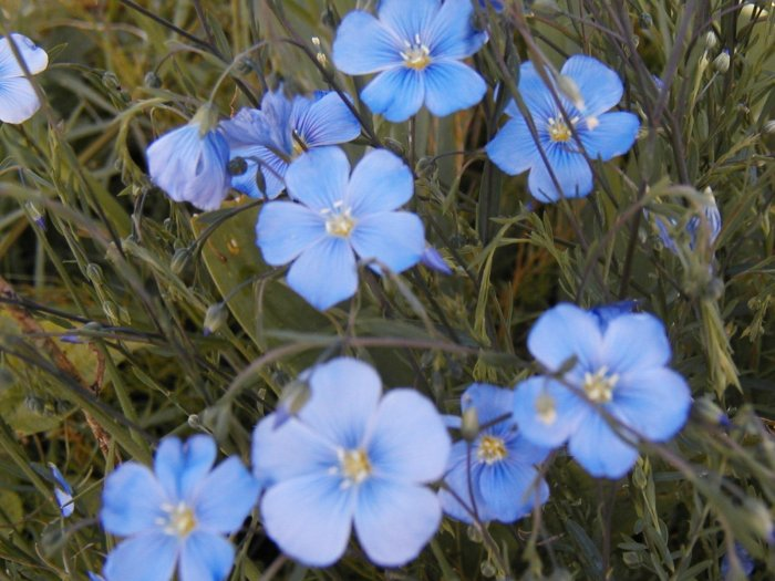 Blue Flax Seeds  **Super EZ to Grow!** Containers
