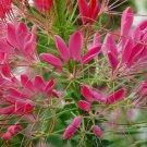 Cleome Rose Queen-Spider Flower Seeds **Butterflies, Bees & Hummingbirds**