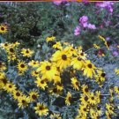 Black Eyed Susan Seeds-Butterflies & Bees!