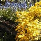 Golden Tuft-Alyssum Seeds Fragrant Tiny Border/Rock Garden