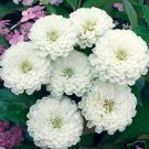 Zinnia **Polar Bear**  Seeds Excellent Cut Flower! **Limited
