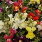 "SNAPDRAGON SEEDS ""NORTHERN LIGHTS MIX""Cottage Favorite"