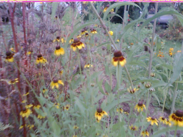 Clasping Leaf Coneflower Seeds
