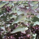 Korean Licorice Mint Seeds **Soothing TEA**Strong Licorice Scent!