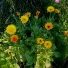 Calendula Seeds **Pot Marigold** EZ to Grow!