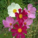 Cosmos Seeds-Mixed Color Sensation-Heat Tolerant!