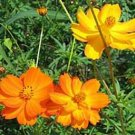 Cosmos Seeds-Bright Lights Mixed-Showy Early Blooms!